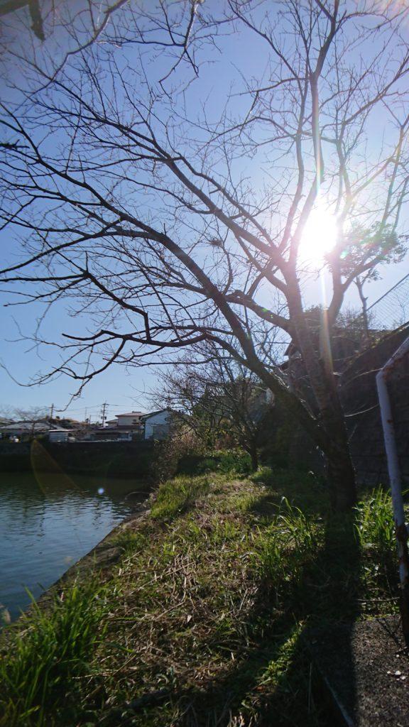 池の畔の桜の木